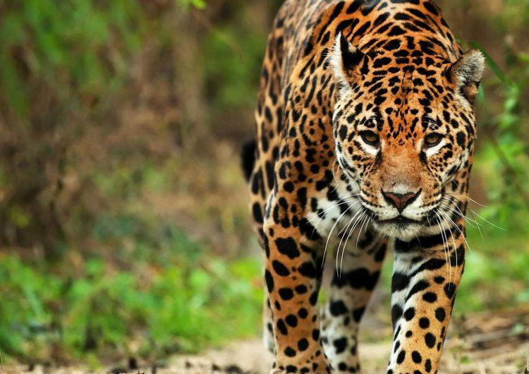 El esfuerzo de 2 décadas: aumenta 20% la población de jaguares silvestres en México