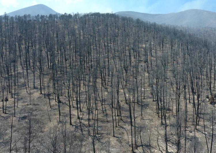 Consume incendio de Arteaga alrededor de 800 hectáreas de pino