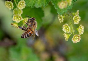 ¿El cambio climáticos provocará la extinción de las abejas?