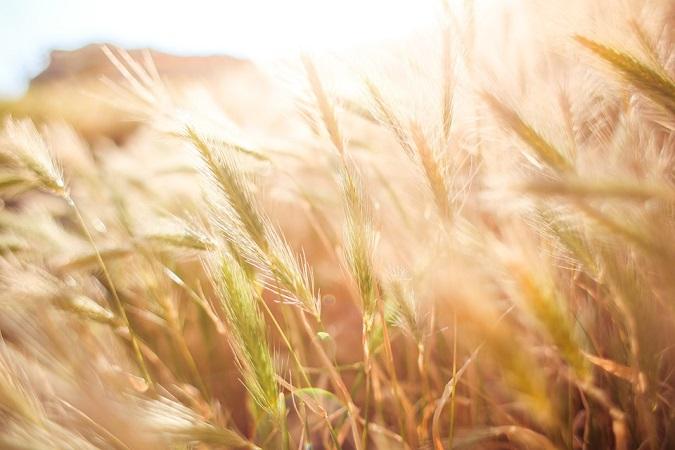 Sembrarán cebada y aguacate en Aguascalientes