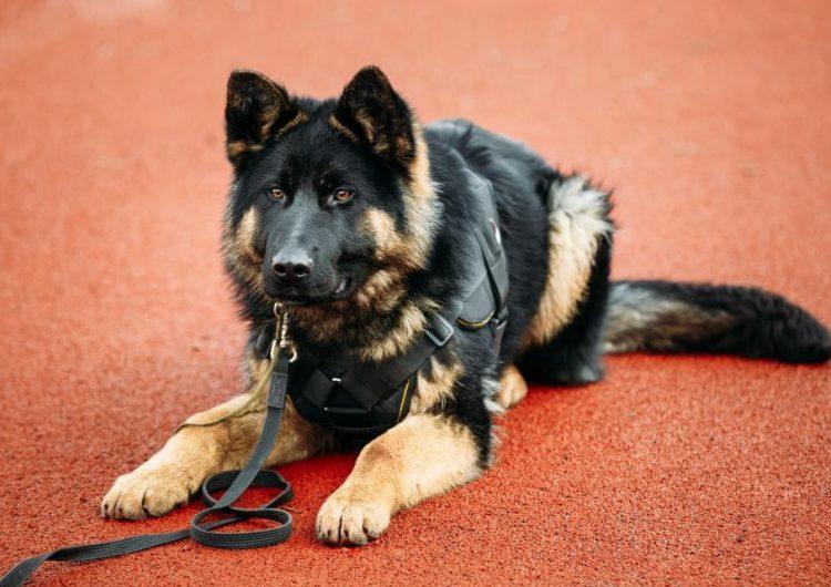 Los perros también salvan vidas: mira cómo uno practica reanimación cardiopulmonar a un policía