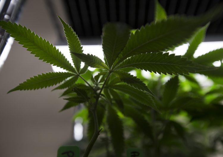 Compartirán los beneficios del cannabis en Tijuana