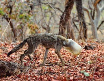 Las duras imágenes de un lobo a punto de morir con la cabeza atrapada en un bote de plástico