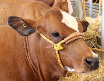 Dan 7 años de prisión a ladrón de ganado en Aguascalientes