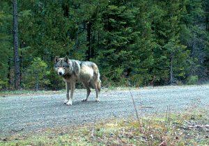 El aullido de OR-7, el lobo más famoso del mundo