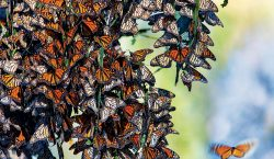 Las mariposas monarca que ayudan a prisioneros en su encierro