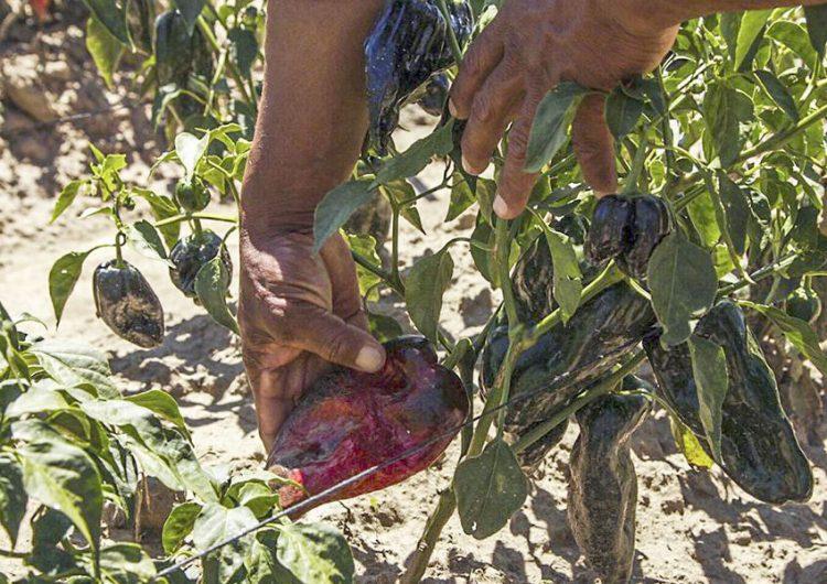 Producción de chiles poblanos en riesgo