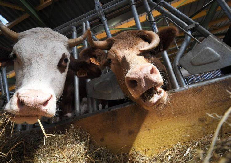 ¿Electricidad vegana? Una compañía convierte desechos de animales en energía