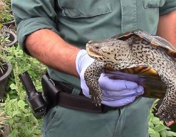 Policía española desmantela criadero ilegal de tortugas; rescata a más de mil ejemplares