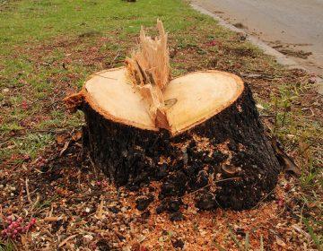 Retirarán casi 100 árboles de Av. López Mateos por eje vial