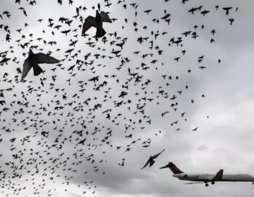 Drones podrían evitar que miles de aves colisionen con aviones al año