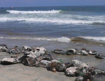 Red prohibida de pescadores ribereños, causante de muerte masiva de tortugas: Profepa