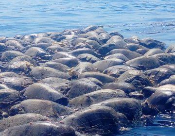 Atrapadas, mueren tortugas en Pacífico oaxaqueño