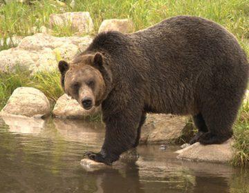 Juez estadounidense bloquea la caza de osos en Yellowstone por primera vez en más de 40 años