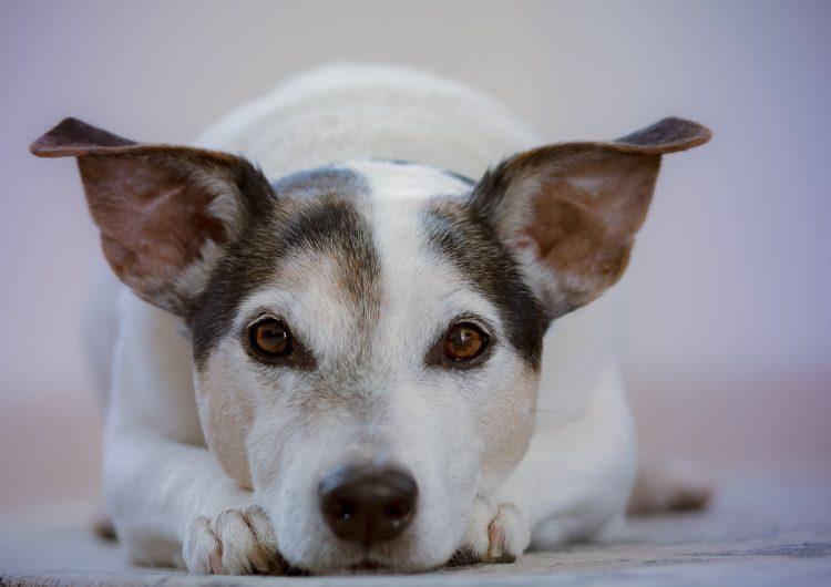 ¿Los perros tienen sentimientos?