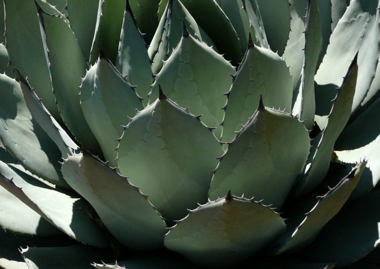 Luz verde en Aguascalientes para producción de mezcal