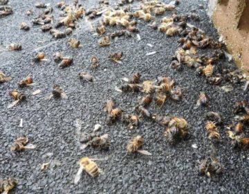 Una fumigación mata a millones de abejas en Quintana Roo y afecta ingresos de decenas de familias
