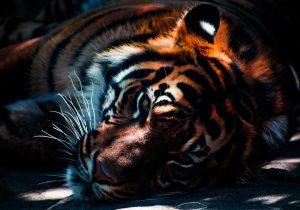 Rescatan a tigre de Bengala abandonado en Villagrán