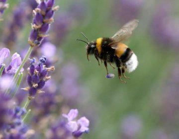 ¿Las abejas se han vuelto adictas a los pesticidas?