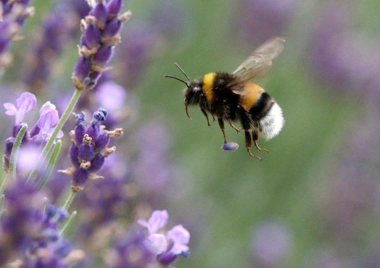 abejas-adictas-pesticidas