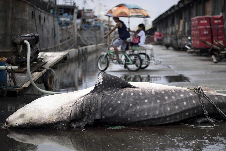 En Manila, Filipinas, se observó el cadáver de un tiburón ballena en las calles, tras las inundaciones. Foto: AFP.