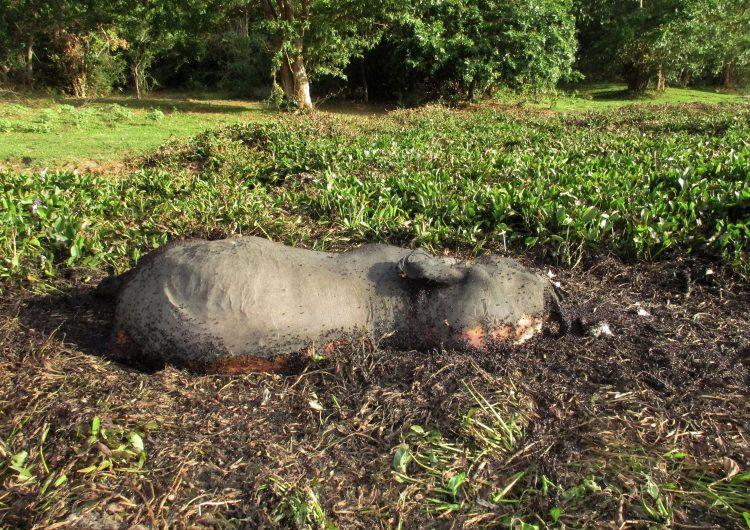 Cazadores furtivos matan a casi 90 elefantes en Botsuana para tráfico de marfil