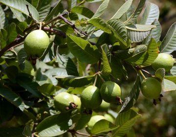 Se salva de granizadas sólo el 38% de producción de guayaba en Calvillo