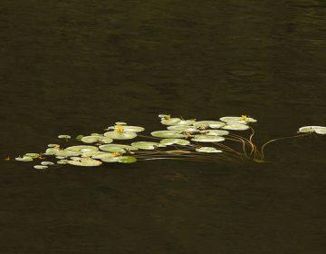Afecta plaga de lirio a dos presas de Aguascalientes
