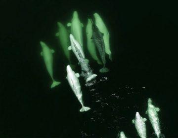 """Científicos descubren a belugas que """"adoptan"""" a narval perdido en aguas de Canadá"""