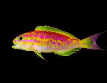 """""""Afrodita"""" y punk rock: investigadores descubren un pez color neón a 120 metros de la superficie"""