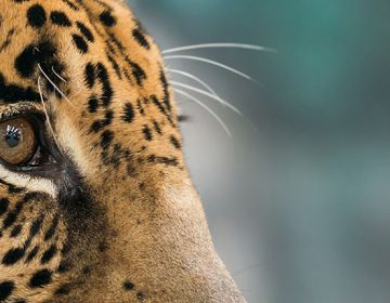 Alguien ha visto un lindo… ¿jaguar? Tener uno como mascota es posible en México