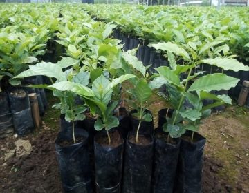 Lidera Oaxaca producción de café