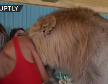 León se une al safari: sube a auto donde paseaban turistas en Rusia