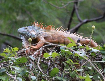 Rescatan 18 ejemplares de iguana verde en Jalisco