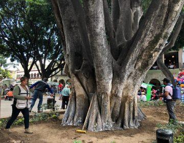 Afectado 80% del arbolado urbano de Oaxaca: ambientalista