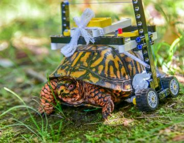 Construyen una silla de ruedas de LEGO para una tortuga en zoológico de Maryland