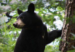 Aparecen más osos en Querétaro