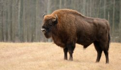 Pese a barrera fronteriza con EEUU, bisontes sobreviven en México