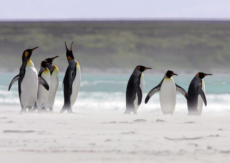 Un millón de pingüinos en las Malvinas están en riesgo a causa del Brexit