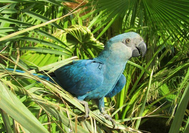 Adiós Blu: el ave que inspiró la película 'Río' dejó de volar en su hábitat natural; científicos lo declaran extinto