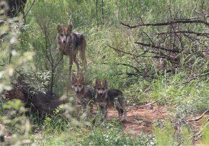 Una familia de lobos mexicanos regresa a la vida silvestre