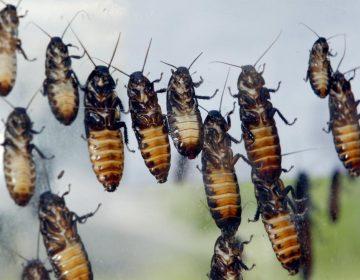 """Una razón para que aprecies a las cucarachas: los """"cyborgs"""" de estos insectos podrían salvar vidas"""