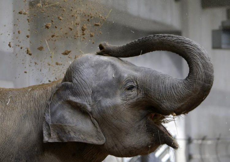 """Un hombre salta al recinto de los elefantes en un zoológico y los animales lo """"escoltan"""" a una salida"""