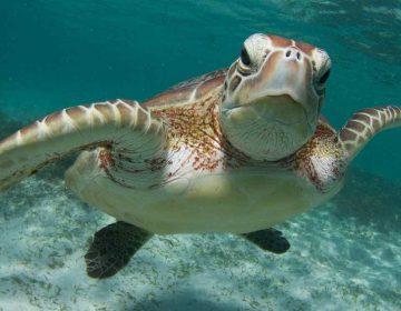 ¿Cuánto plástico es necesario para matar a una tortuga?