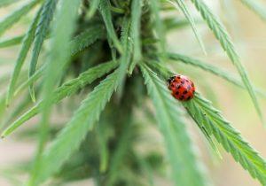 Canadá se abre a la marihuana: ¿En qué partes del mundo está permitido su uso?