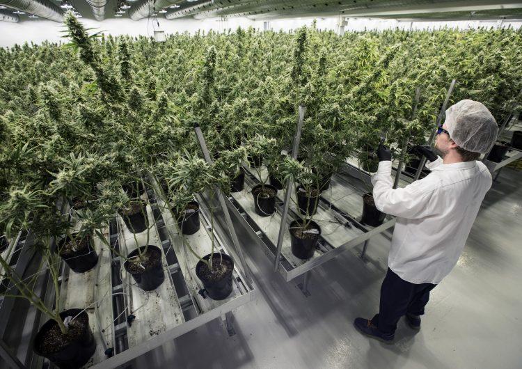 Tras cinco años de aprobar su uso recreativo, Uruguay abre el debate sobre el uso medicinal de la marihuana