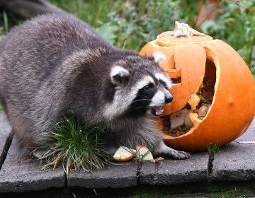 """Animales de un zoo de Alemania celebran halloween y piden su """"calaverita"""""""