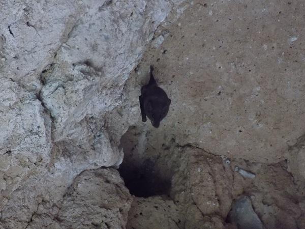 Ubican especie de murciélago amenazada en Bosque de Cobos