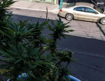 SCJN emite jurisprudencia para que se permita el cultivo y consumo de la marihuana con fines recreativos
