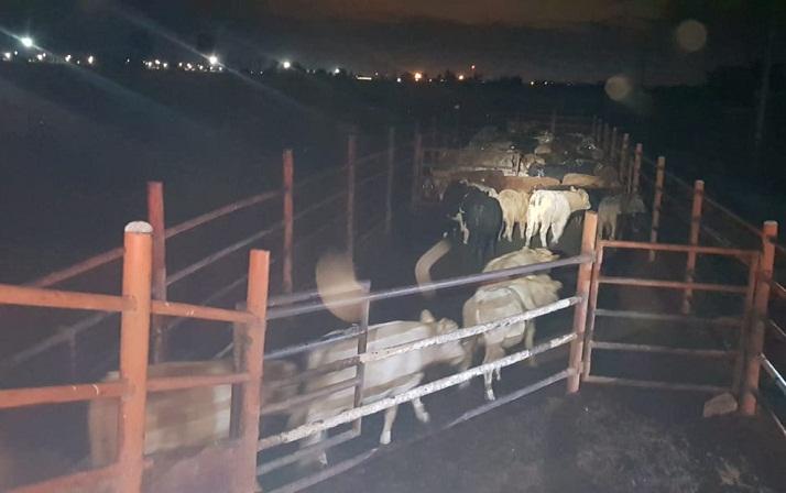 Detienen tráiler con 90 cabezas de ganado por presunto abigeato